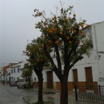 Orangenbäume Aldogonales